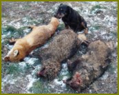 Предки спариваемых собак